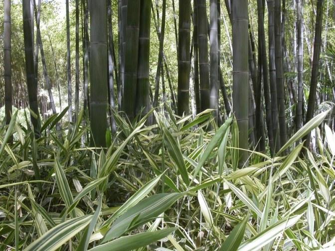 Des bambous, partout des bambous
