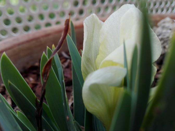 1er février 1ère fleur sur mon balcon, l'iris nain