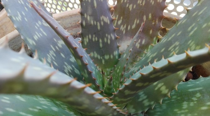 Bébés d'Aloe Maculata devenus grands