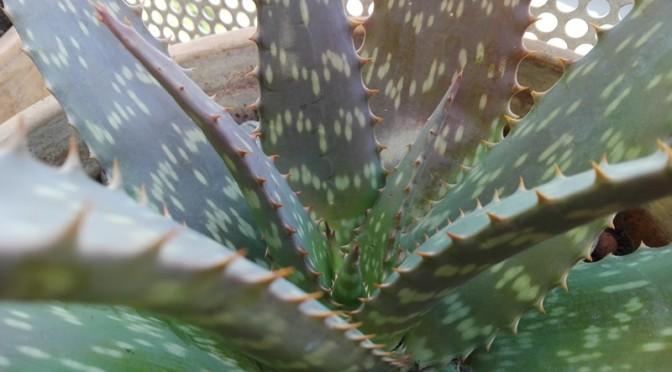 Bébés d'Aloe vera devenus grands