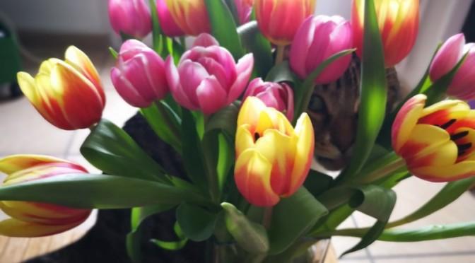 Confinement : Chachat et les tulipes